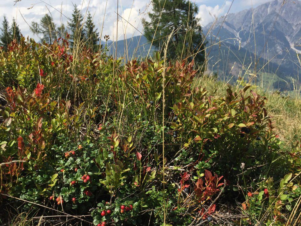 Beeren, Pilze, Flechten und anderes vom Waldrand