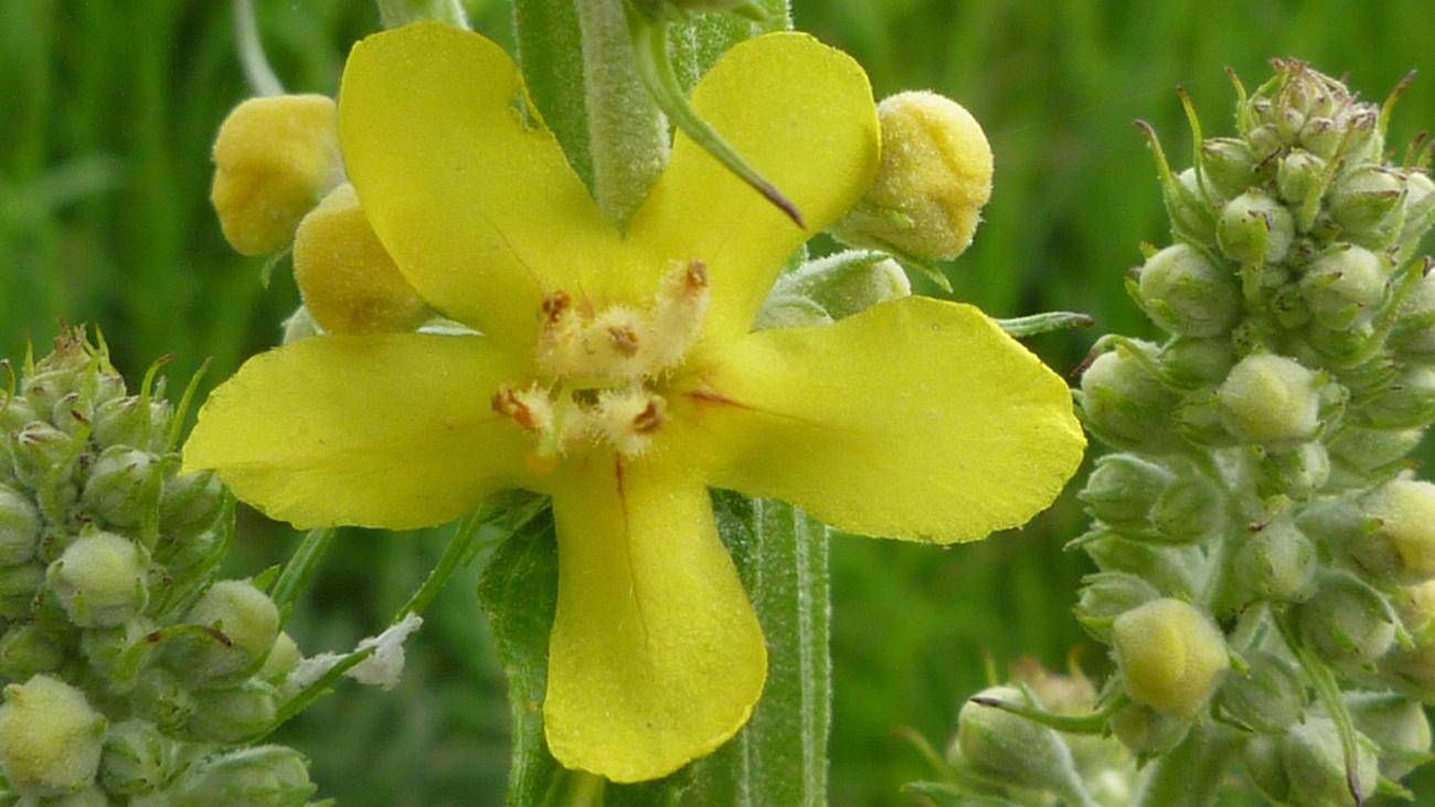 Gelb blühende Blume
