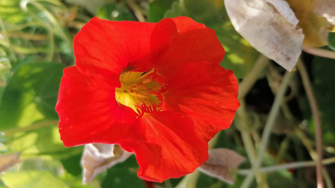 Rote Blumenblüte